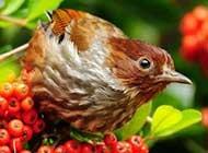 鸣声悦耳的小鸟桌面高清壁纸