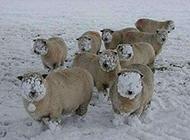 动物爆笑图片之苦逼的绵羊
