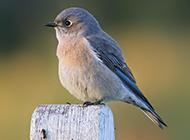 小巧玲珑的知更鸟图片