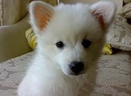 白狐狸犬呆萌可爱居家图片