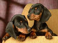 黑腊肠犬幼崽顽皮写真图片