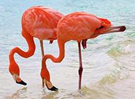 海边粉红色的火烈鸟图片