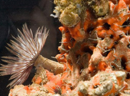 十大奇特海洋蠕虫:星虫鼻子似大象