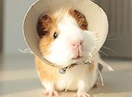 宠物豚鼠扮萌超Q图片