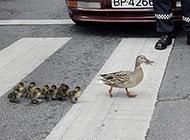 小鸭子跟鸭妈妈过马路