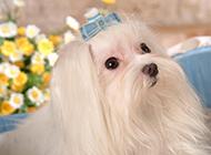 乖巧优雅的马尔济斯犬图片