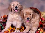 两只金毛狗小时候图片壁纸