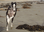 黑白灵缇犬海边自由奔跑图片