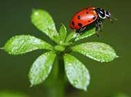可爱小昆虫七星瓢虫唯美背景壁纸