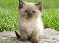 呆萌迷人的喜马拉雅种猫图片