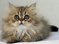 趴着的超萌波斯猫图片壁纸