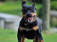 德国罗威纳犬凶猛进攻图片
