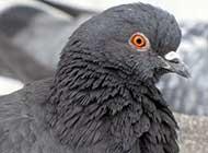 可爱机灵的鸽子高清图片