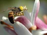 花丛中的蜜蜂忙碌身影精美摄影作品