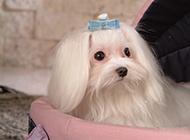 乖巧优雅的迷你马尔济斯犬图片