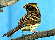 小型鸣禽精品百灵鸟图片