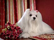 马尔济斯犬美容造型优雅图片