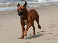 日本土佐犬沙滩上奔跑图片