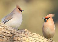 叽叽喳喳的小太平鸟图片