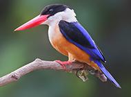 羽色华丽的广西荆棘鸟图片