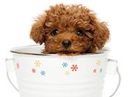 超萌可爱的小狗茶杯犬图片