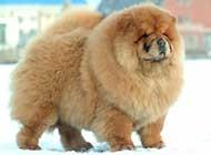 可爱的松狮犬高清动物图片