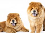 神情得意的巨型松狮犬图片