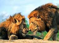 森林之霸 狮子的活动