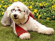 英国古牧犬搞怪写真图片