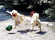 小动物搞笑动图之公鸡杯足球赛