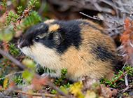 外形娇小可爱的旅鼠图片