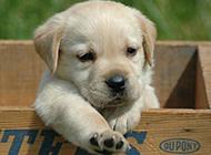 可爱拉布拉多寻回犬组图眼神呆萌动人