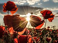 各种天色下的罂粟花唯美拍摄