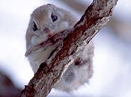 树枝栖息的小飞鼠图片大全