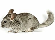 南美洲栗鼠呆萌特写图片