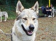 凶猛霸气的捷克狼犬图片