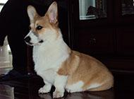 威尔士柯基犬可爱图片