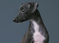 意大利灵缇犬眼神机灵可爱图片