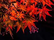 火红的枫叶唯美意境组图