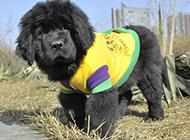 小型纽芬兰犬可爱肉呼呼图片