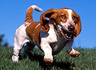 奔跑中的巴吉度犬图片