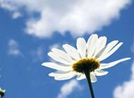 好看的蓝天下花朵唯美图片