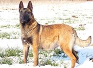 冬日雪地的标准马犬图片大全