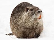加拿大海狸鼠圆嘟嘟图片