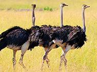 非洲鸵鸟休闲漫步图片