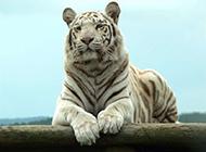 老虎狮子野生食肉动物图片合集