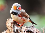 宠物珍珠鸟可爱小巧图片