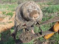 草原鼢鼠腿受伤图片