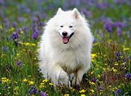 白色萨摩犬春天公园欢乐玩耍图片