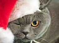 圣诞节盛装出席的萌猫高清壁纸